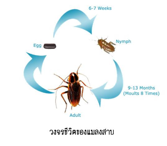 วงจรชีวิตแมลงสาบ
